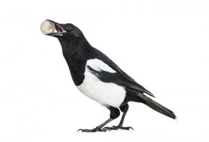 Common Magpie, Pica pica, holding shiny Euro in beak, in front of white background