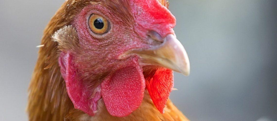 Hen, a portrait